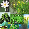 Floating Plants, Bog, Taros, Snowflakes, Cannas