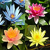 Economical Hardy and Tropical Lily Collections