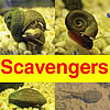 Scavengers : Tadpoles and  Snails