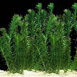 Anacharis - Best Oxygenating Plant