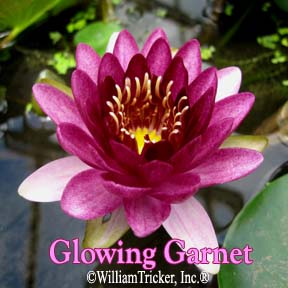 Glowing Garnet Hardy Water Lily