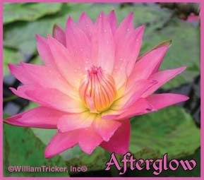 Afterglow - Tropical Water Lily
