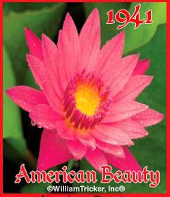American Beauty - Water Lily