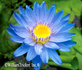 Astraea Tropical Water Lily