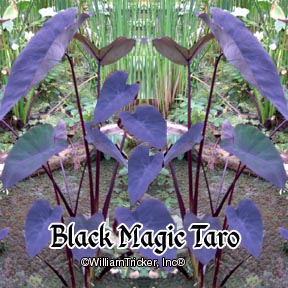 Black Magic Taro