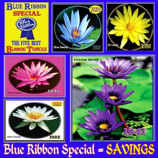Blue Ribbon Special - 5 Water Lilies