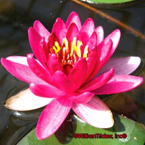 Burgundy Princess - Hardy Pygmy Water Lily