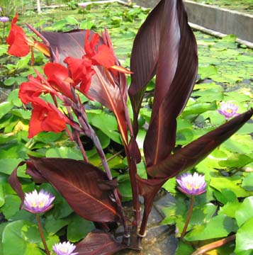Aquatic Red Flowered Australia Canna
