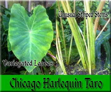 Chicago Harlequin Taro