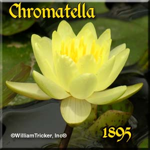 Chromatella- Hardy Water Lily