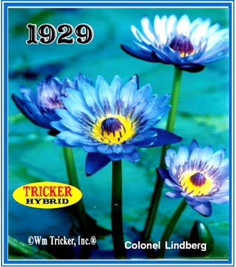Colonel Lindberg - Tricker Water Lily Hybrid