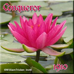 Conqueror - Hardy Water Lily