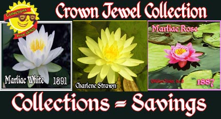 Crown Jewel Collection - 3 Hardy Lilies