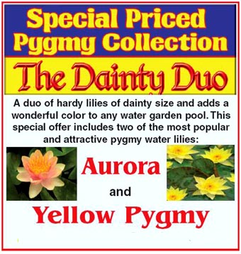 Dainty Duo Collection: Aurora and Yellow Pygmy
