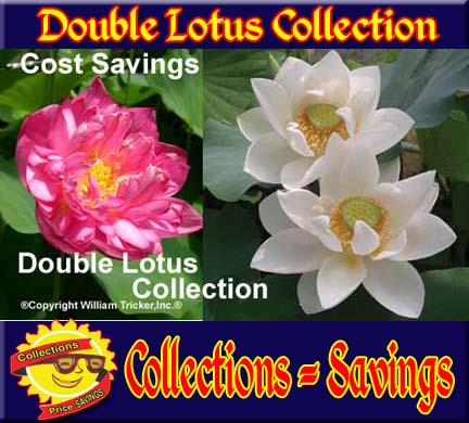 Double Lotus Collection - 2 Lotus