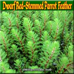 Dwarf 'Red Stemmed' Parrot Feather