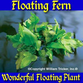 Floating Fern
