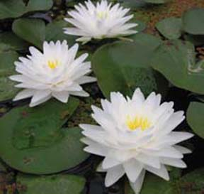 Gonnere - Hardy Water Lily