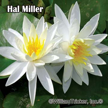 Hal Miller - Hardy Water Lily