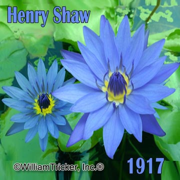 Henry Shaw - Tropical Water Lily