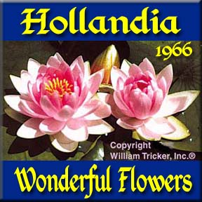 Hollandia - Hardy Water Lily