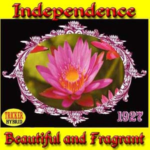 Independence - Tricker Water Lily Hybrid