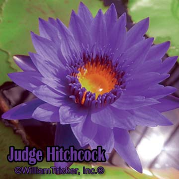Judge Hitchcock - Water Lily