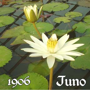 Juno - Night Blooming Lily