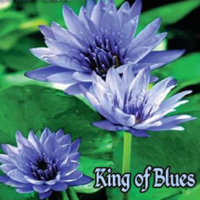 King of Blues - Tropical Water Lily