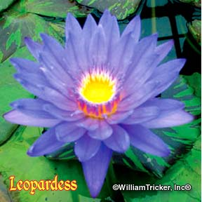 Leopardess - Tropical Water Lily