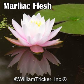 Marliac Flesh - Hardy Water Lily