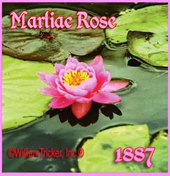 Marliac Rose - Hardy Water Lily