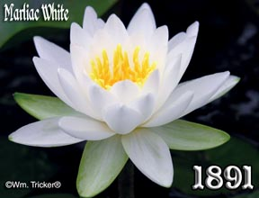 Marliac White - Hardy Water Lily