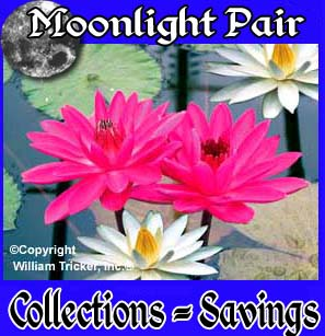 Moonlight Pair - 2 Water Lilies