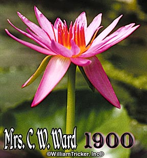 Mrs. C. W. Ward - Tricker Water Lily Hybrid