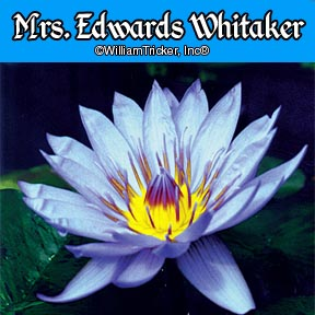 Mrs. Edwards Whitaker Tropical Water Lily