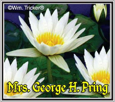 Mrs. George Pring - Water Lily