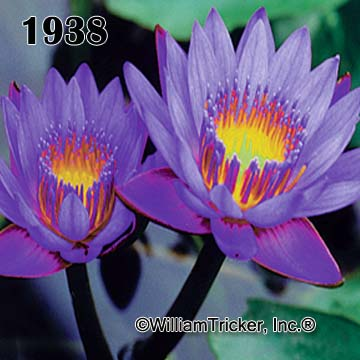 Mrs. Martin Randig - Water Lily