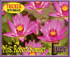 Mrs. Robert Sawyer - Tricker Water Lily Hybrid