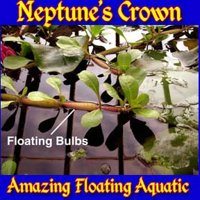Neptune's Crown - Floating Plant
