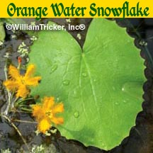 Orange Water Snowflake