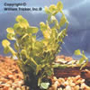 Moneywort - Oxygenating Plant