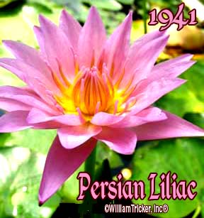 Persian Lilac - Water Lily