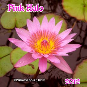 Pink Halo - Tricker Hybrid Water Lily