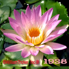 Pink Pearl - Water Lily