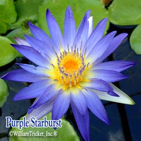 Purple Starburst Water Lily - Tricker Hybrid