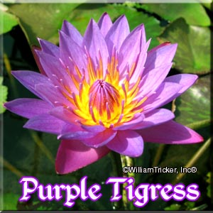 Purple Tigress - Tricker Hybird