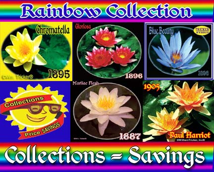 Rainbow Collection - 5 Water Lilies
