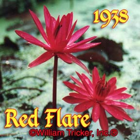 Red Flare - Night Blooming Lily