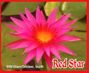 Red Star - Water Lily
